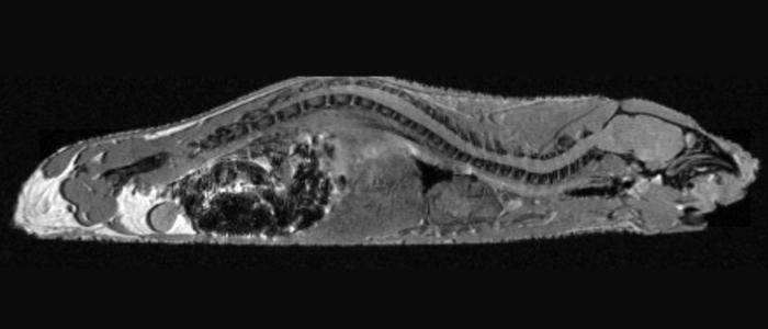 MRI, naked mole rat (Dr. Pamenter)