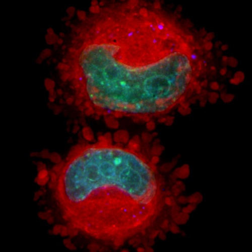 A microscopic image of cells, displayed in red and blue