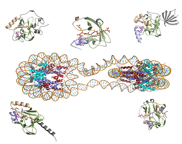 A computer model showing the structure of proteins surrounding chromatin
