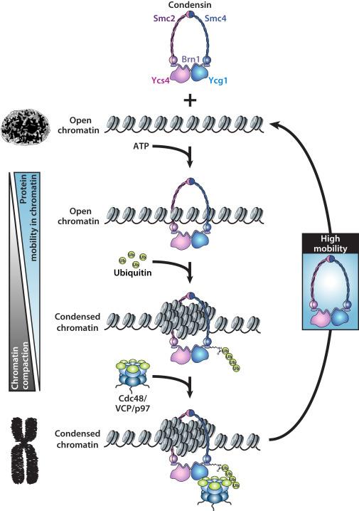 Model of Condensin Release