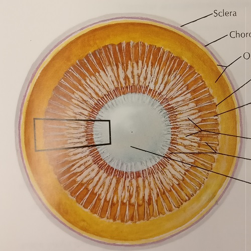 Eyeball Sectioned in Frontal Plane