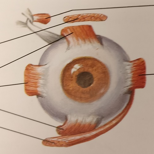 Innervation of extrinsic eye muscles, anterior view