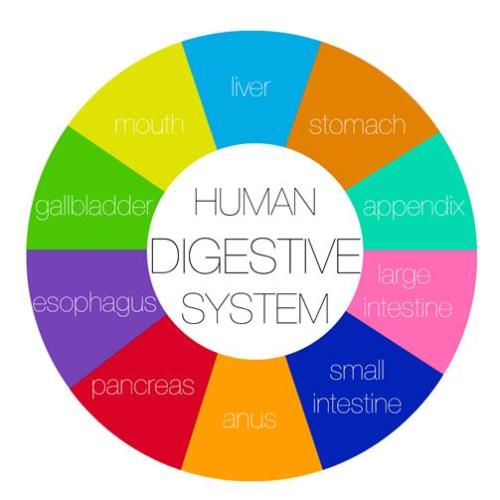 A chart of the Human Digestive System