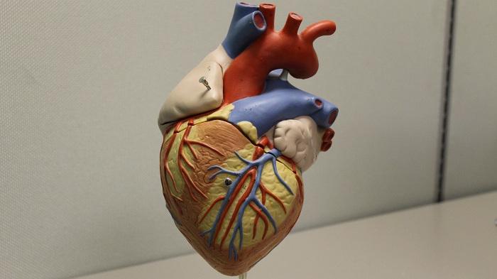 Model of a Heart