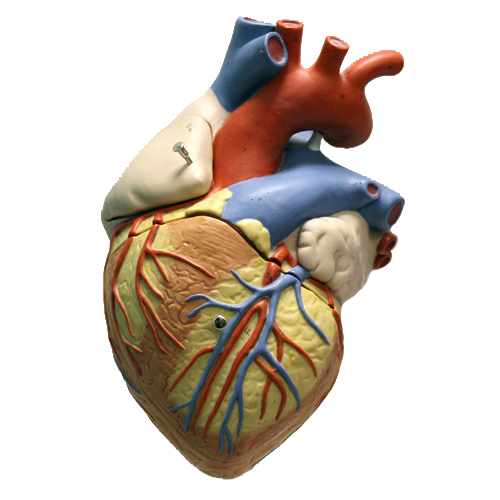 A display heart used for teaching