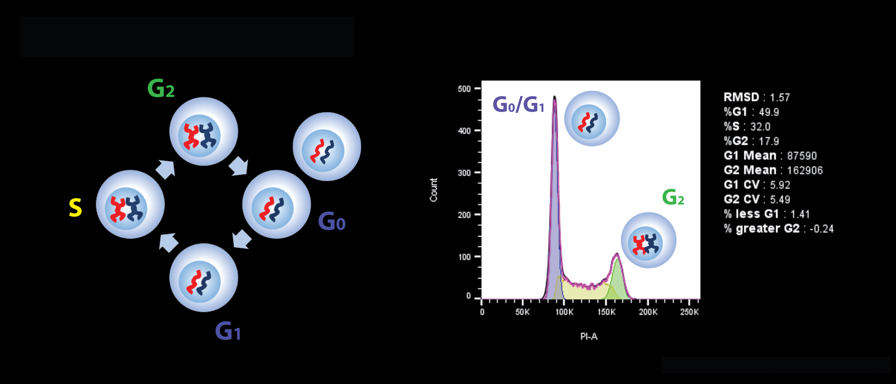 Cell-cycle Analysis