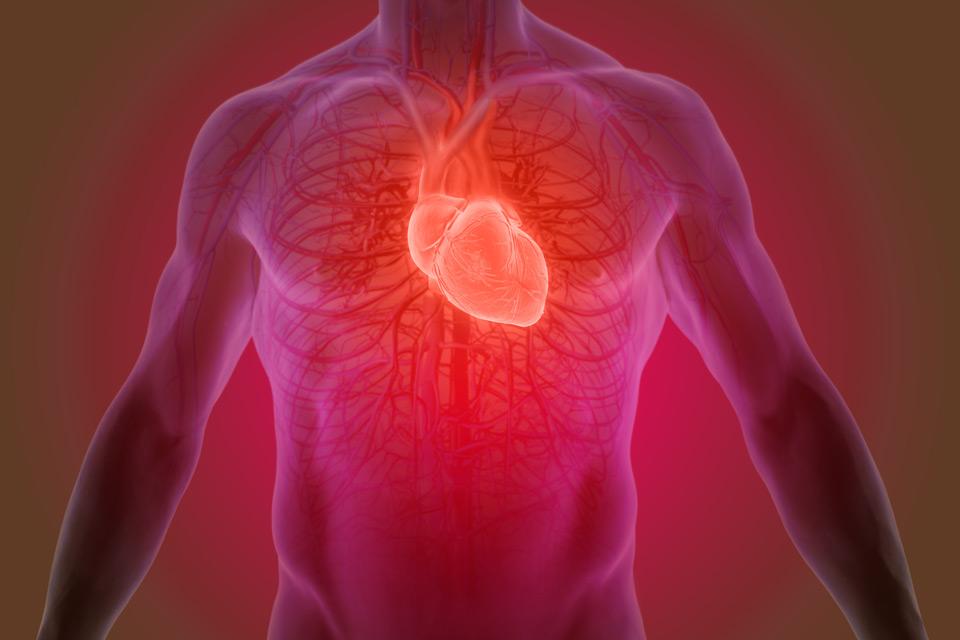 Un diagramme du coeur dans le corps humain.