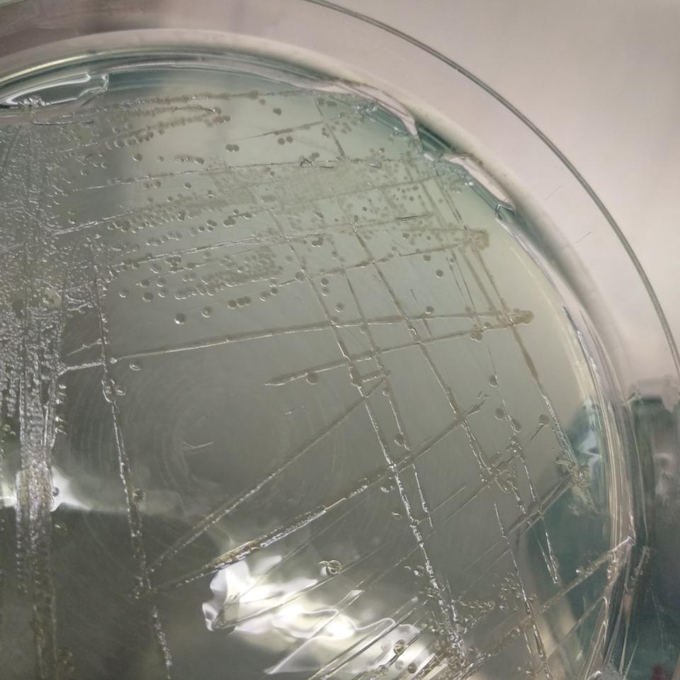 La bactérie Pseudomonas aeruginosa cultivée sur gélose.