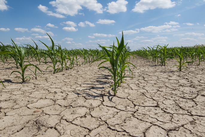 Les cultures émergent d'un champ frappé par la sécheresse.