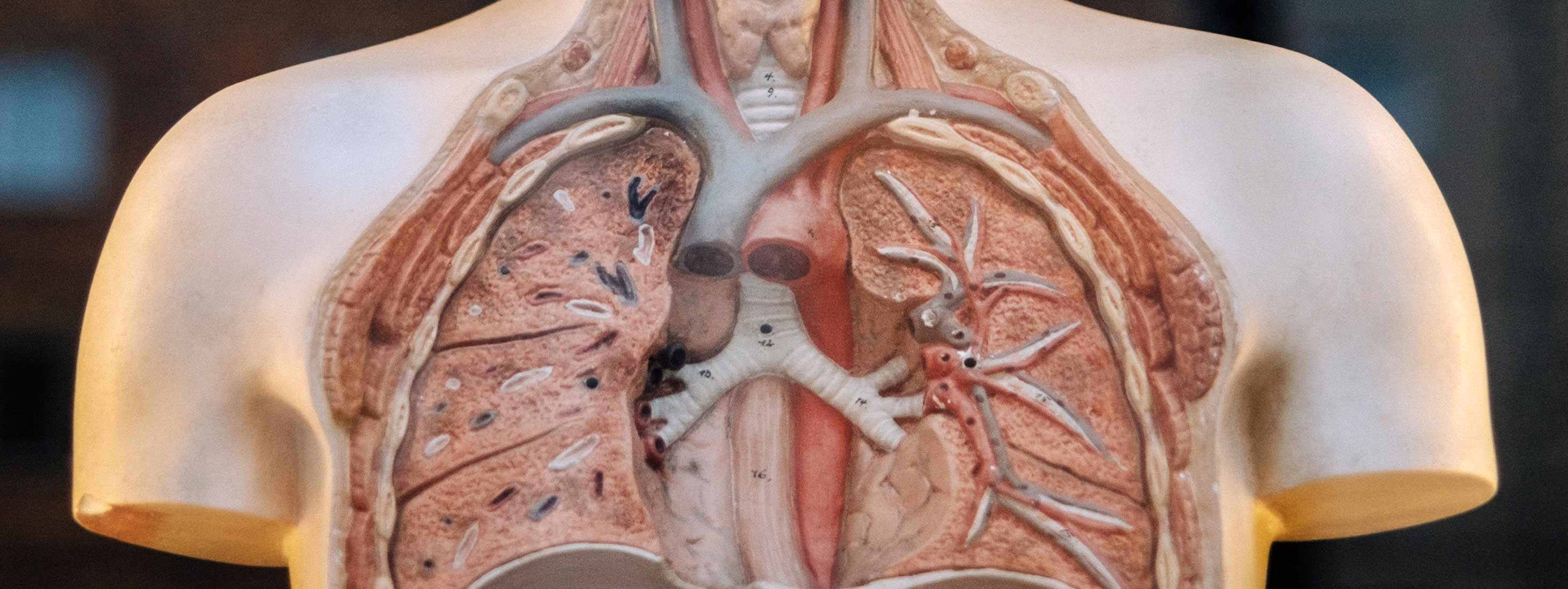 Lungs inside a plastic mannequin