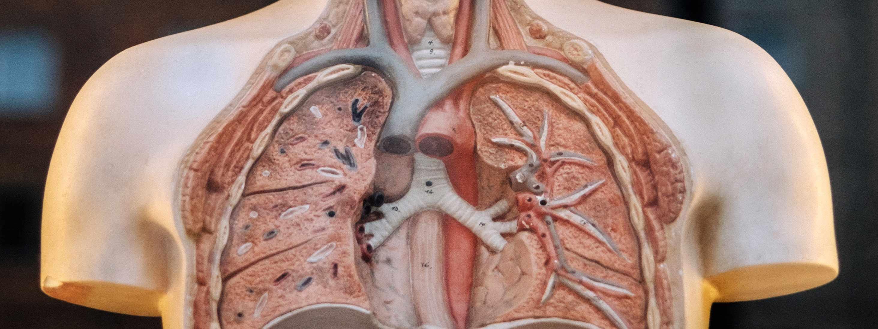 Poumons à l'intérieur d'un mannequin en plastique