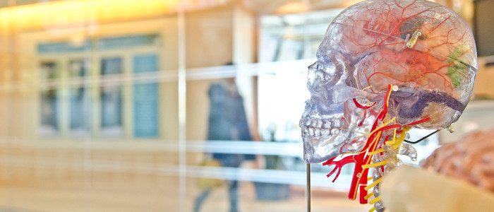 A clear plastic skulls showing the brain and major arteries.