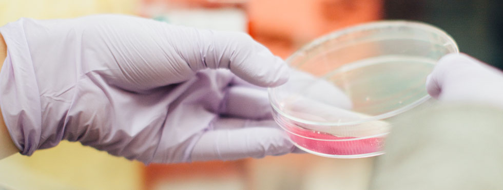 Gloved hands holding a petri dish with pink media.