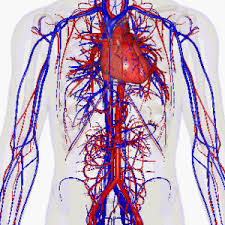 image of veins and arteries in the human body